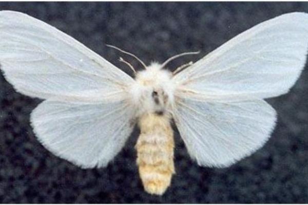 Американський білий метелик шкодить сільському господарству на Рівненщині