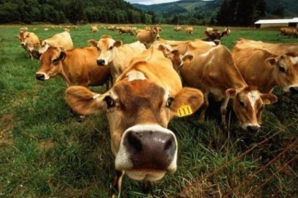 Господарствам Рівненщини виплачують кошти за худобу