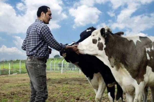 У Костопільському районі 322 селян отримали кошти за вирощування телят