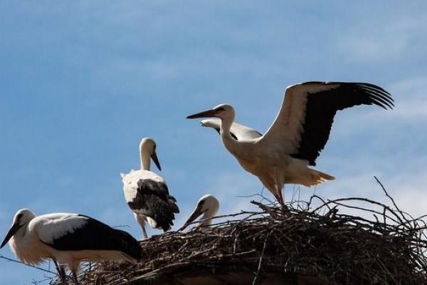 Як у Млинові рятували білоголових Соню і Жорика