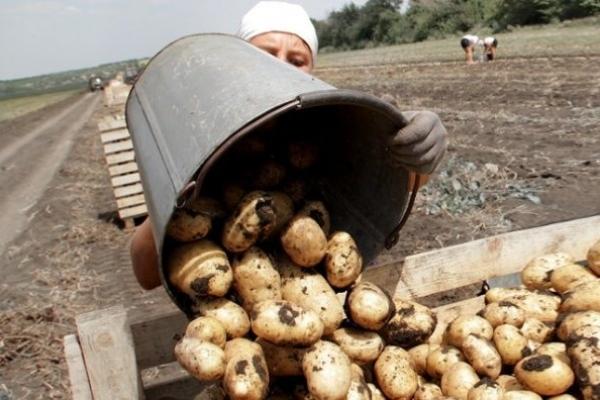 Про  картопляний бізнес говоритимуть у Яловичах на Млинівщині