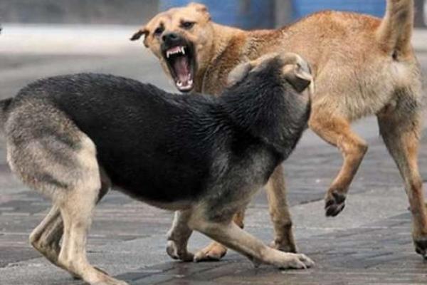 У Млинові бродячі пси завдали подружжю збитків на кілька тисяч гривень