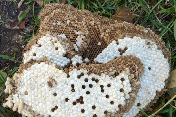 На Рівненщині знищили осине гніздо (Фото)