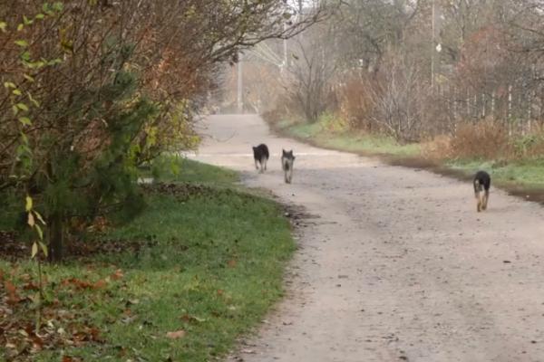 Дачники Рівненщини потерпають від безпритульних собак (Відео)