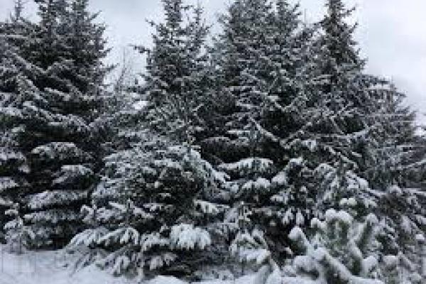 Зберегти новорічні ялинки пропонують рівненські лісівники