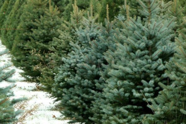 П'ятнадцять тисяч новорічних дерев на суму близько мільйона гривень реалізували на Рівненщині