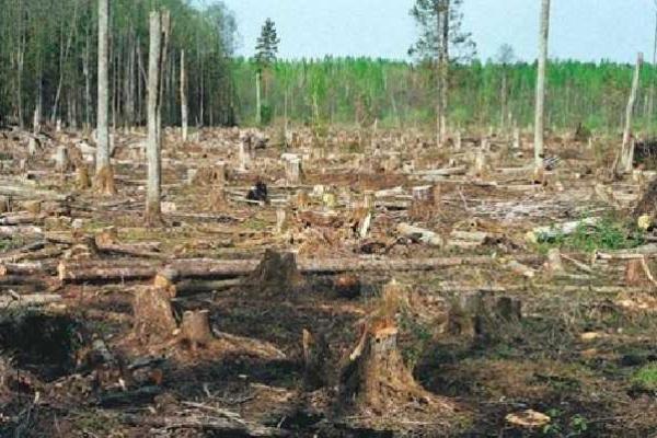 Найбільше лісу вирубують не в Карпатах, а на Поліссі