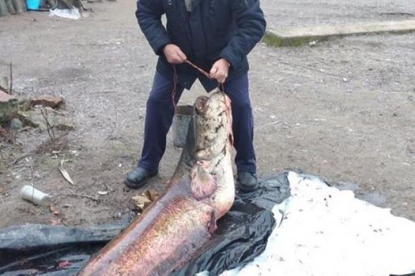 У річці Горинь на Рівненщині спіймали гігантську рибину (фото)