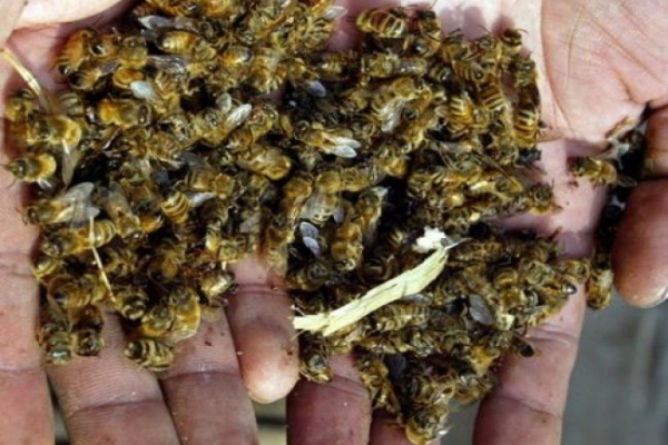 У селі Велика Омеляна Рівненського району загинули бджоли