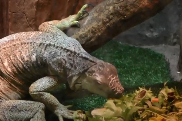 Як живе ігуана зелена в Рівненському зоопарку? (ВІДЕО)