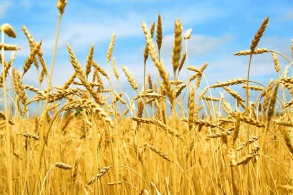 На Рівненщині аграрії готуються до збору врожаю