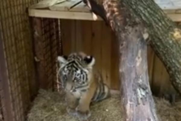 Віталій Коваль провідав тигреня у Рівненському зоопарку (ВІДЕО)