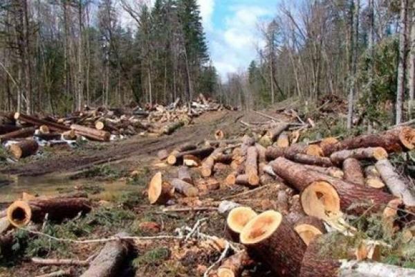 Кооператив сплатить майже 400 тис гривень за самовільну порубку лісу на Рівненщині