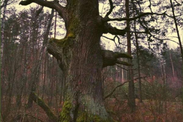 У Нобельському парку росте п'ятсотрічний дуб
