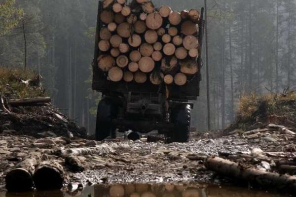 На Рівненщині судитимуть чоловіка, який крав ліс