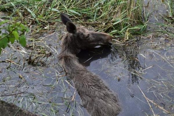 У селі Городок Рівненського району врятували від загибелі лосиху (ФОТО)