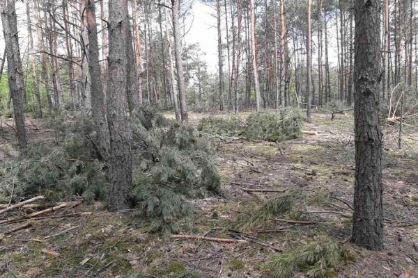 Черговий злочин у лісах Рівненщини: близько трьох тисяч знищених дерев та 16 млн грн збитків