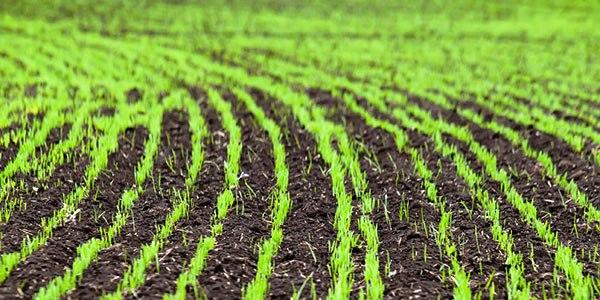 На Рівненщині зростають площі посівів