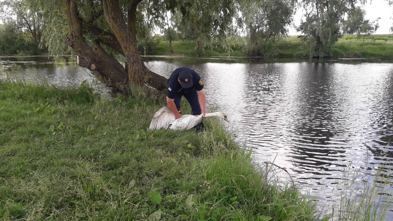 Дубровицькі бійці ДСНС врятували лебедя