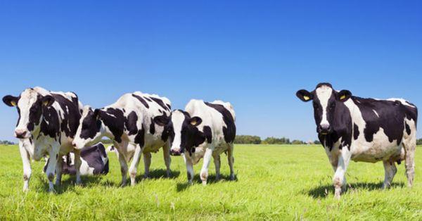 Чому на Млинівщині міліють молочні ріки?