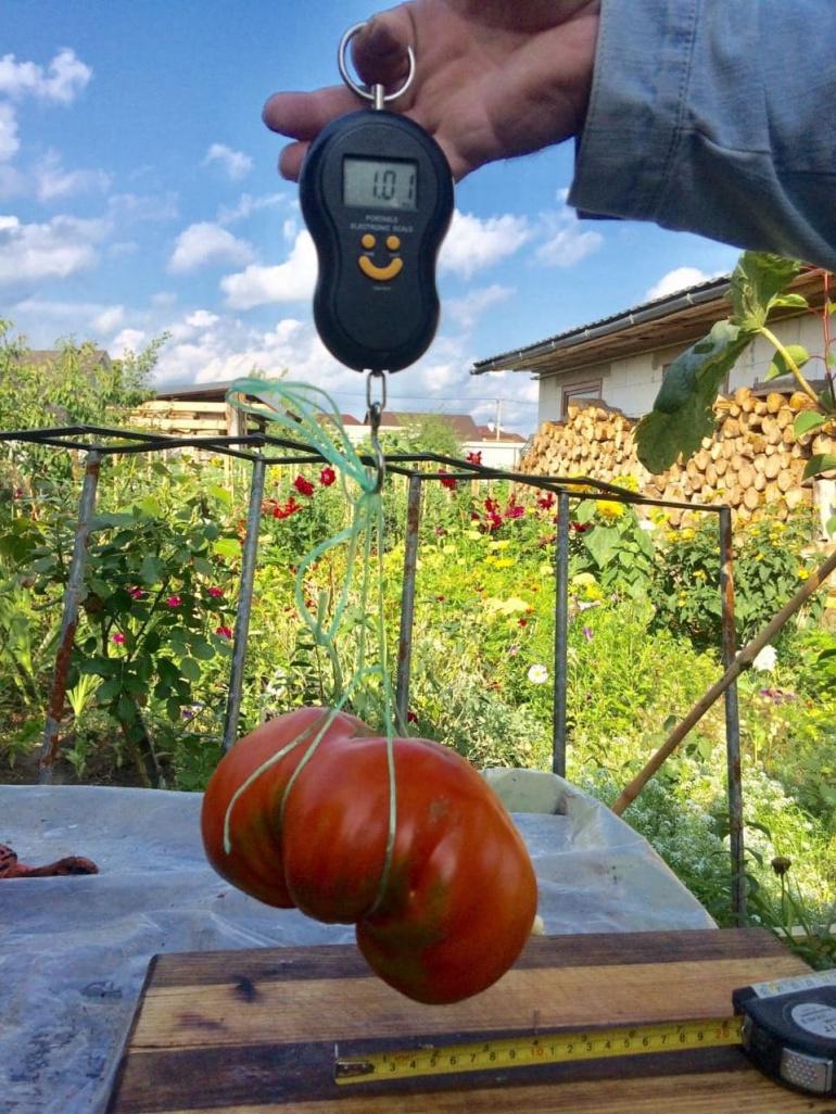 Рівнянин виростив величезний помідор
